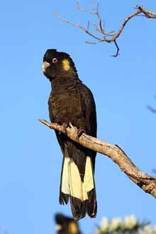 Yellow-tailed Black-Cockatoo