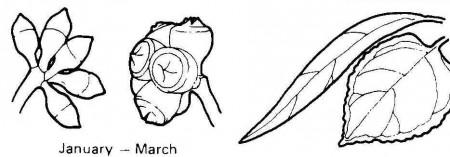 E. bridgesiana