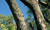 Bark of E. bridgesiana