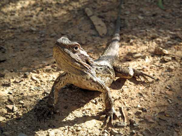 Walking in France: The Common Bearded Dragon Pogona howitii, often seen in the Aranda Bushland