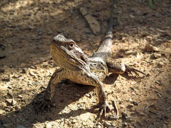 Walking in France: The Common Bearded Dragon Pogona howitii, often seen in the Aranda Bushland
