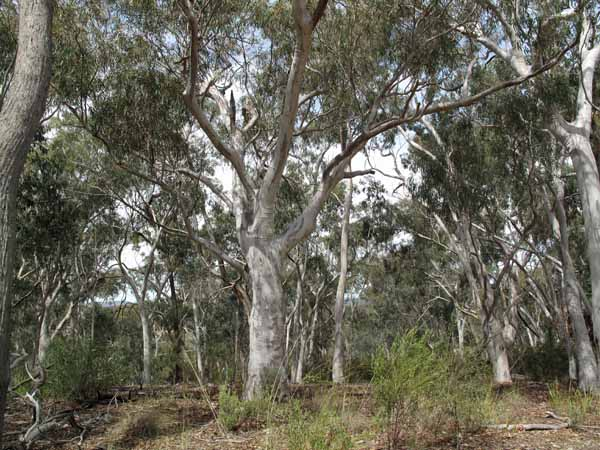 Walking in France: A Scribbly Gum  E. rossii in the Aranda Bushland
