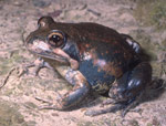 Friends of Aranda Bushland   Frogs of the Canberra Region   L dumerili