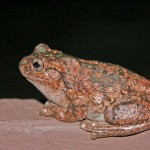 Friends of Aranda Bushland:  Frogs of the Canberra Region