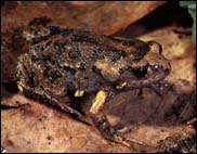 Friends of Aranda Bushland   Frogs of the Canberra Region   U laevigata