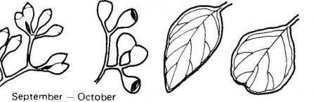 E polyanthemos