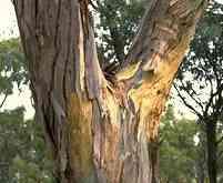 Bark of E rubida